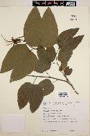 Image of Bauhinia longifolia