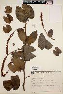Image of Bauhinia radiata