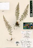 Woodsia phillipsii image