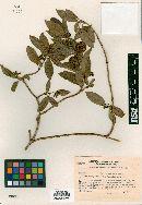 Image of Marsdenia tressensii