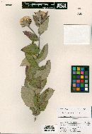 Image of Acourtia hintoniorum