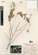 Image of Acourtia huajuapana