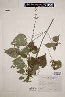 Image of Salvia gracilis