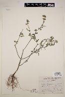 Image of Salvia hirsuta