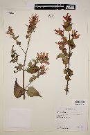 Image of Salvia holwayi