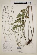 Image of Salvia lanicalyx
