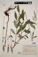Salvia lavanduloides image