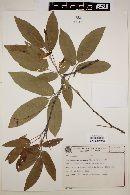 Image of Camptosema coriaceum