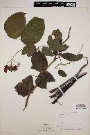 Image of Cassia fruticosa