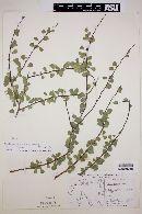 Image of Cassia abbreviata