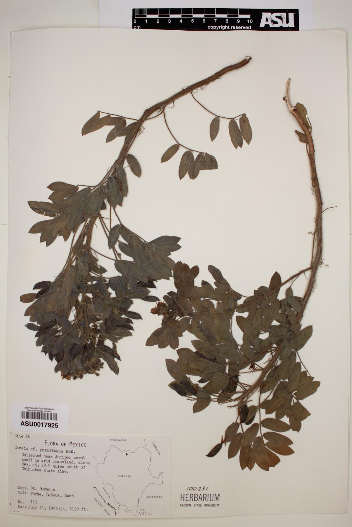 Cassia peralteana image