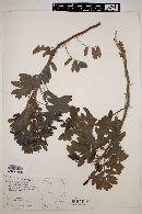 Image of Cassia peralteana