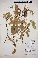 Cassia villosa image