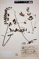 Image of Cassia ferruginea