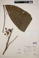 Image of Cassia macrophylla