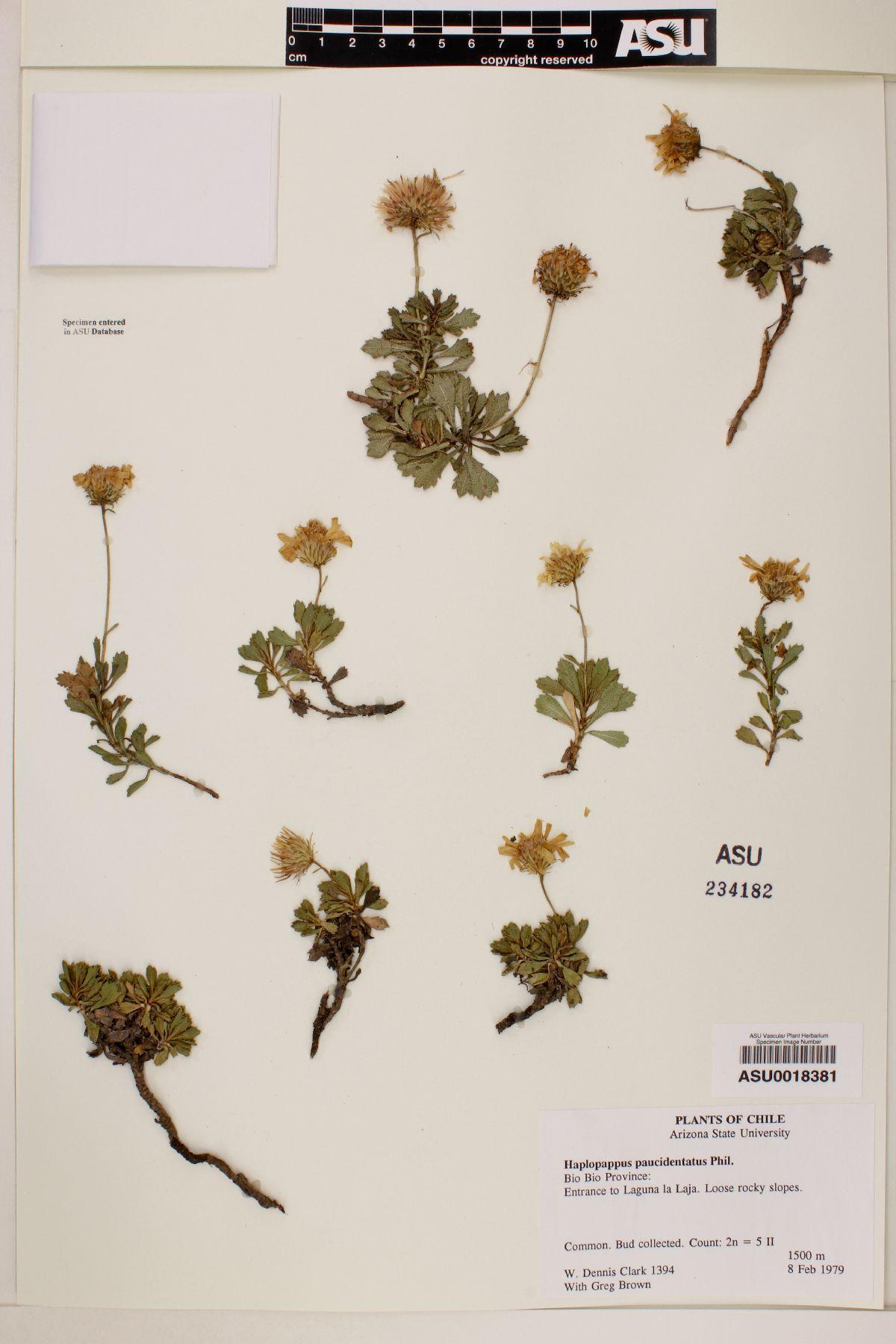 Haplopappus paucidentatus image