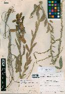 Image of Solidago gypsophila