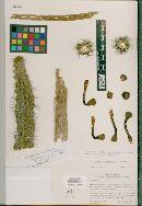 Image of Cleistocactus leonensis