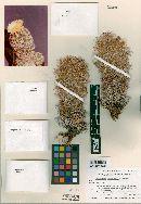 Image of Coryphantha bernalensis