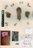 Image of Coryphantha pusilliflora
