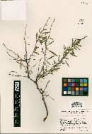 Image of Euphorbia gentryi