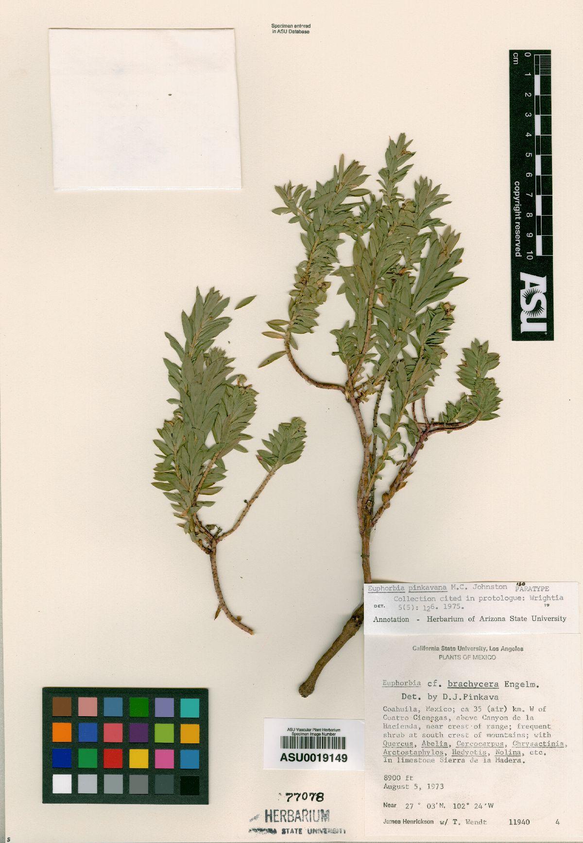 Euphorbia pinkavana image