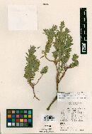 Image of Euphorbia pinkavana