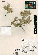 Image of Quercus coahuilensis