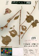 Image of Hibiscus stewartii