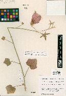 Image of Hibiscus saponarius