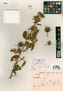 Image of Hibiscus thegaleus