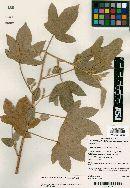 Image of Hibiscus fallax