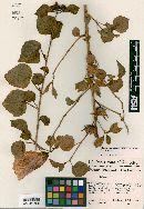 Image of Hibiscus marenitensis