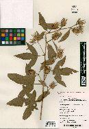 Image of Hibiscus petherickii