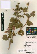 Image of Hibiscus reflexus