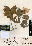 Image of Hibiscus riceae