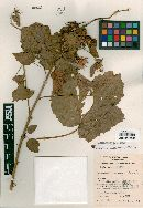 Image of Hibiscus arnhemensis