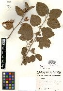 Image of Hibiscus aphelus
