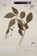 Image of Salvia lundellii