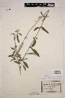 Image of Salvia remota