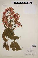 Image of Salvia sessei