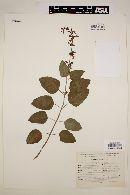 Image of Salvia tricuspidata