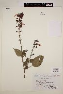 Image of Salvia tonduzii