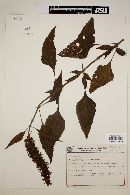 Image of Salvia congestiflora
