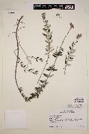 Image of Salvia flocculosa