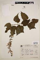 Image of Salvia grewiifolia