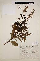 Image of Salvia melissaeflora