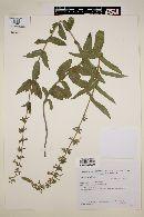 Image of Salvia nervosa