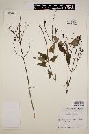 Image of Salvia sagittata