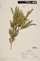 Tepualia stipularis image